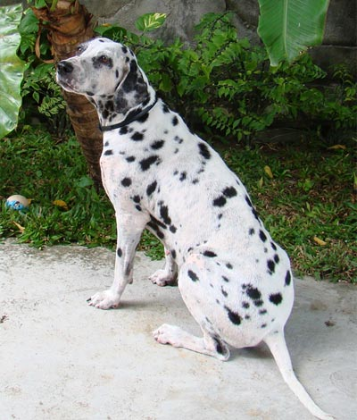 Dalmatian dog after mange treatment